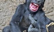 Khỉ con bị cù lét cười nắc nẻ như em bé