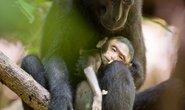 Khỉ mẹ đau buồn ẵm xác con 3 ngày