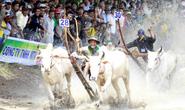 Sôi động Lễ hội đua bò vòng loại Bảy Núi