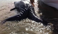 Cá voi sinh đôi dính liền cực hiếm dạt vào bờ