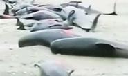"""Hơn chục cá voi hoa tiêu đâm đầu vào """"nghĩa địa"""""""