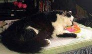 """Mèo 10 kg """"bắt"""" chủ nhà làm con tin"""