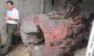 Gửi giám định mẫu gỗ sưa tiền tỉ