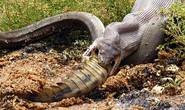 Mãng xà háu đói nuốt chửng cá sấu
