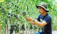 Vườn cà chua đen trĩu quả của chàng trai Đà Lạt