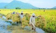 Gạo Việt đang ở đâu?: Loay hoay xây dựng thương hiệu