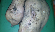 Vĩnh Long: Đào được củ khoai lang nặng gần 3 kg
