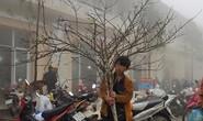 Đào rừng Sa Pa đưa Tết về phố