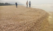 Sò lông, ốc hương dạt vào phủ kín bờ biển