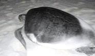 """Lạ lùng rùa """"nín"""" đẻ, trở lại biển"""