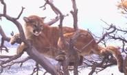 Mẹ lao vào cướp lại con từ móng vuốt sư tử núi