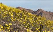 Thung lũng Chết bất ngờ nở hoa rực rỡ