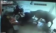 Chú bò xông pha cứu cô gái bị hành quyết