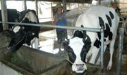 Thu tiền để xây dựng thương hiệu bò sữa Củ Chi