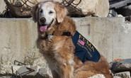 Cảnh khuyển cuối cùng trong đội cứu hộ 11-9 qua đời