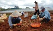 Lâm Đồng hỗ trợ cho khoai tây Đà Lạt đấu với hàng Trung Quốc