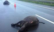 Trâu bị tông chết trên đường cao tốc Long Thành – Dầu Giây