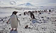 Băng trôi khổng lồ giết chết 150.000 chim cánh cụt