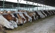 Đua nhập bò Úc giá bèo 3USD/kg về vỗ béo
