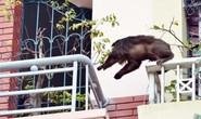 Hà Nội: Bí ẩn khỉ mặt đỏ gây náo loạn khu phố