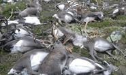 Hàng trăm con tuần lộc nằm chết la liệt ở Na Uy
