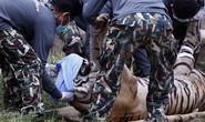 Đột kích ngôi chùa nuôi hơn 100 con hổ ở Thái Lan