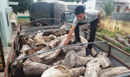 Lật tung rừng để săn gỗ quý