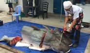 Cặp cá tra gần 400kg từ Lào về Việt Nam
