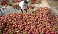 Nhiều công ty Trung Quốc hủy đơn hàng mua thanh long hoặc ép giá còn 5.000 đồng/kg