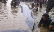 Cá voi nặng trên 7 tấn chết trôi dạt vào biển Nghệ An