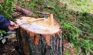 Nhiều cây thông trong rừng phòng hộ bị triệt hạ