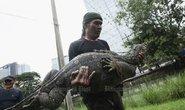 Thái Lan dọn dẹp thằn lằn khổng lồ