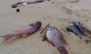 Tuyệt đối không được ăn cá chết hàng loạt ở miền Trung