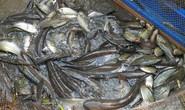 Lũ muộn, dân câu lưới miền Tây mỏi tay bắt cá