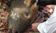 Bò tót lại gục chết ở khu bảo tồn của Đồng Nai