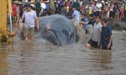 Cá voi 17 tấn còn sống mắc kẹt ở bãi biển Nghệ An