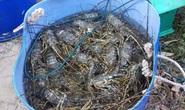 Phú Yên: Tôm hùm chết do ô nhiễm, tảo nở hoa