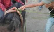 Voi mẹ không chịu nhận voi con vì... có hơi người