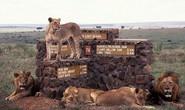 Kenya báo động vì hàng loạt sư tử xổng chuồng