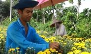 Hoa cúc tiger đất thắng lớn dịp Tết Đoan Ngọ