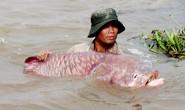 Chuyện ly kỳ về ông cá hô trên dòng Vàm Nao