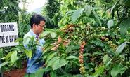 Thu cả tỉ đồng mỗi năm từ vườn tiêu xen cà phê hữu cơ