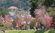 Lễ hội Hoa anh đào lần đầu tiên được tổ chức tại Đà Lạt vào tháng 1-2017