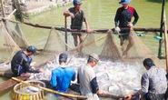 """Tránh """"sập bẫy"""" Trung Quốc mua cá tra"""