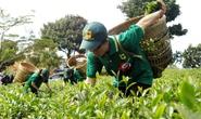 """Lâm Đồng: Không tổ chức """"Tuần lễ Văn hóa trà"""""""