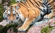 Hổ vồ chết nhân viên sở thú