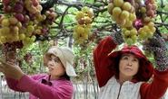 Tôn vinh giá trị kinh tế của cây nho