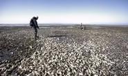 Trung Quốc tình nguyện ăn cho tuyệt chủng để giải cứu hàu Đan Mạch