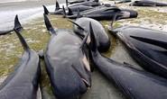 New Zealand lo ngại hàng trăm xác cá voi phát nổ
