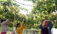 Ninh Thuận trồng nho công nghệ cao